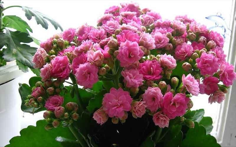 Цветок каланхоэ уход и посадка