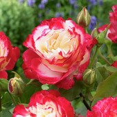 Чепурна  троянда 15 зернят в лоті