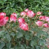 Саженцы  роз (розы - спрей)
