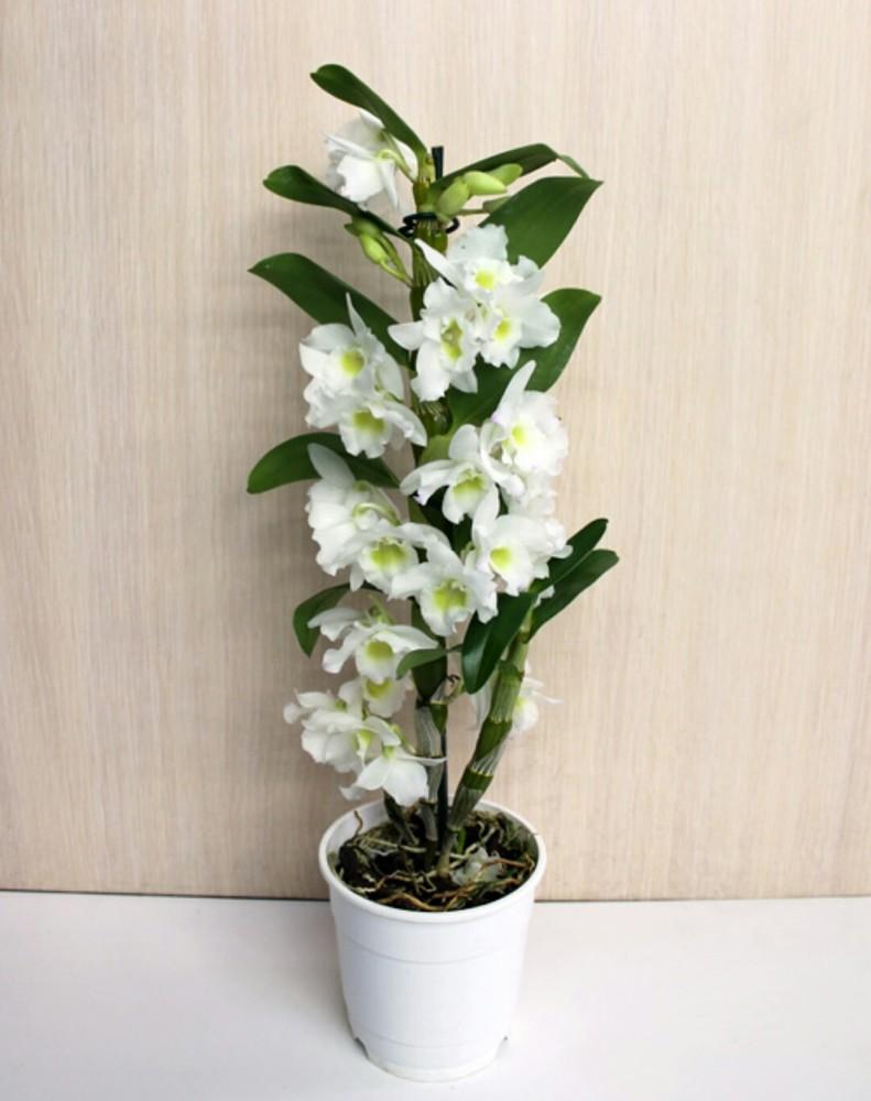 Орхидея дендробиум цветы купить спб