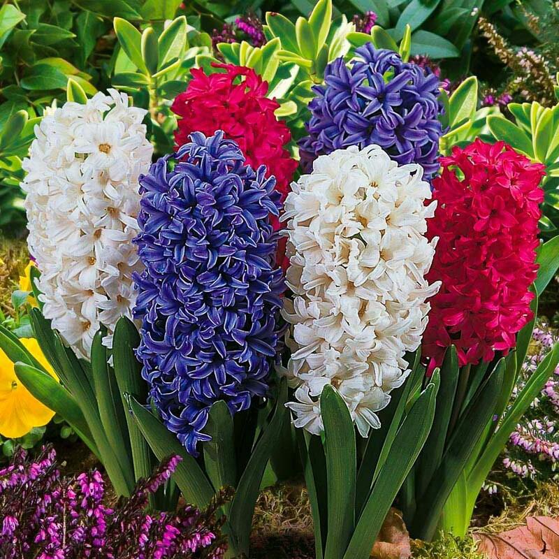 зажим картинка цветов гиацинт такая особенность делает