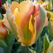 "Тюльпан ""Golden Artist-зеленоцветковый  суппер красоты."
