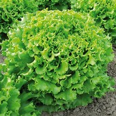 Салат Гранд Рапидс 30 семян