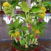 Мини банан.Плодоносит в 45-50 снтиметров.семена -5 штук.