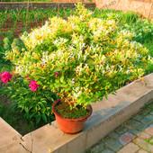 Семена жимолости бонсай (tecomaria capensis),  ароматный  экзотический цветок .