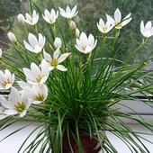Зефирантес белый. Лот - 3 взрослые луковицы.