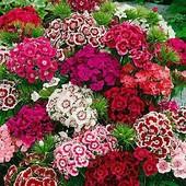 Турецкая гвоздика смесь цветов