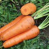 Голландские семена моркови КанадаF1,лот-400шт