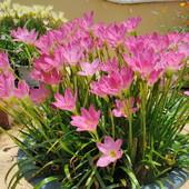 Зефирантес розовый и белый, 3 луковицы