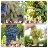 Лот 4 шт. Виноград: Дамский пальчик,  Бастардо и Кишмиш!