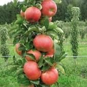 Колоновидная  яблоня  Джин-1  саженец