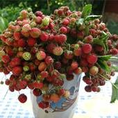попробуйте непередаваемый вкус - земляника садовая - лот 5 саженцев
