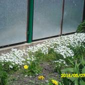 Птицемлечник белый.Лот 10 луковиц диаметром 1-1.5см