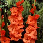 Собирайте лоты!! Гладиолус Peter Pears -класс:  Баттерфляй, крупноцветковые.
