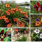 Собирайте лоты!!Спараксис трехцветный (Sparaxis tricolor)