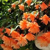 Бегония-ярко-обильно цветущая-3-х расцвето\желто-лимонная-розовая-оранжевая\1 клубень\большой \