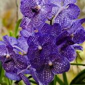 Орхидея фаленопсис - Orchidaceae phalaenopsis. В лоте качественные обработаные семена -20 штук.