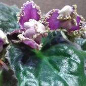 ЛЕ-Фламенко -вже квітуча фіалка з бутонами фото 2, 3