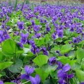 Фиалка садовая и примула (одна на выбор)смотрите все мои лоты, много цветов