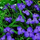 Традесканция садовая - цветет с мая и до морозов