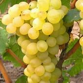 Виноград Галахад -1 саженец