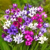 Много цветочных лотов!!! Бабиана микс .В лоте 2 голландские луковицы