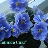 Нежная коллекционная сортовая красотка Волшебные сны, в лоте детка с фото 3