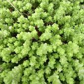 5 видов почвопокровных растений, в лоте 2 на выбор.