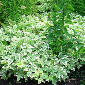 Сныть пёстролисная и фалярис тростниковый(одно растение на выбор) второе можно докупить по ставке