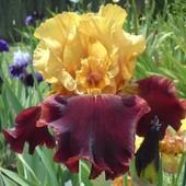 Ирисы бородатые, в том числе - самый крупный - до 34 см цветок среди высоких бородатых