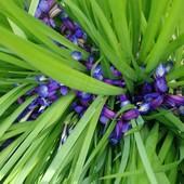 Ірис карликовий, гарно пахне! Чудова окраса квітника!