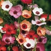 Лен крупноцветковый, смесь цветов.