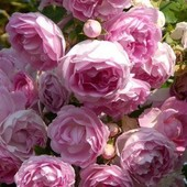 Роза плетистая Жасмина -1 саженец