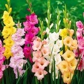 Гладиолусы крупноцветковые микс. С ростками многие. Садить можно до конца июня!! В лоте 3 шт!!. Микс