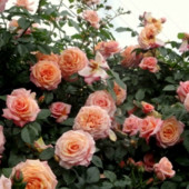 Плетистая роза Барок