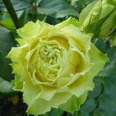 Роза чайно-гибридная Зеленая планета -1 саженец