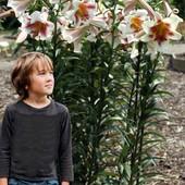 Трубчатая !!! Лилия Passion Moon от гибрид Лилия гигант. Гигантские цветы до 30 сантиметров.