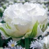 Голандский тюльпан Снежный кристалл. Лот 2 небольшие луковицы.