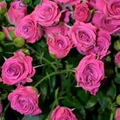 Роза спрей Лавли Лидия.