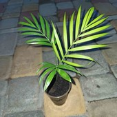 Пальма хамедорей