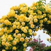 Роза плетистая Голден Шауерс -1 саженец