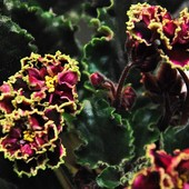 """Фиалка """"Каменный цветок """". Продаётся укорененый лист с деткой на фото 2"""