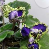 Пират (Макуни ) - вкорінений листочок цвітіння моє