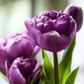 Махровый поздний Голанский тюльпан Lilac Perfection.В лотах только элитные огромные луковицы 12+