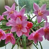 Много цветочных лотов!!! Зефирантес розовый. В лоте 1 луковица
