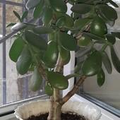 Денежное дерево/толстянка/карсулла.Высота 40 см