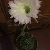 Кактус цвітущий