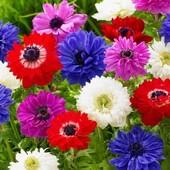 Клубни анемон микс цветов лот 2 шт !!!