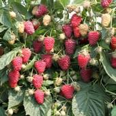 Сажанці малини, плодить до пізньої осені. 1 лот - 5 шт. + 2 в подарок! Дивіться інші мої лоти