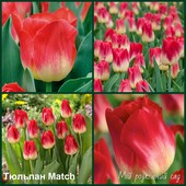 Тюльпан Match. Название сорта переводится как «Спички».
